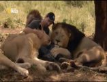Aslanlar ile insan dostluğu videosu sayfamızda paylaşıldı. Ormanlar kralı aslanlarla dost olan insanlar var. Vahşi hayatın en güçlü ve yırtıcı hayvanları